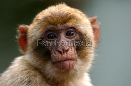 marrone animali faccia scimmia ritratto di