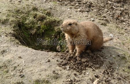 animale mammifero marrone grotta occhi roditore