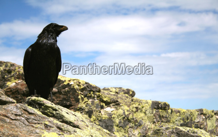 no raven 1
