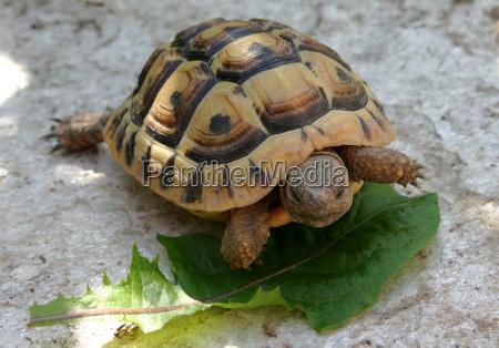 giovane tartaruga greca