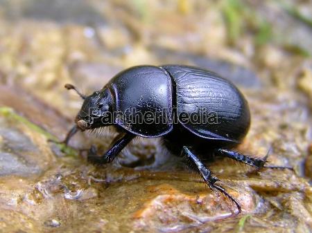ambiente fauna animali scarafaggio biologia scarabeo