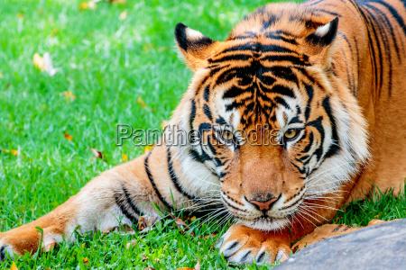 tiger pre pounce