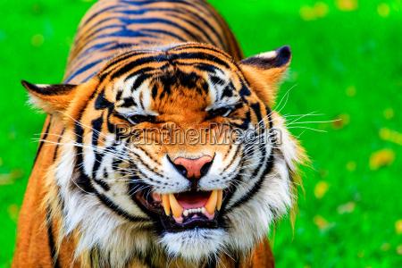 gatto tigre sumatran