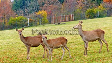 animale zoo vivaio rehwild europaeisches reh