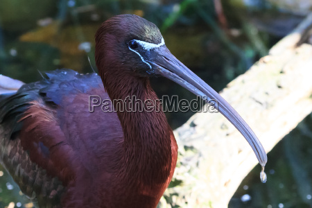 animale uccello glossy ibis